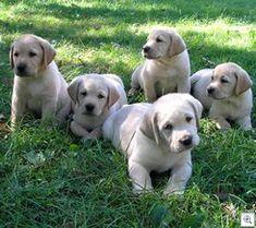 lab puppies <3