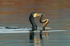 Cormorant with prey...