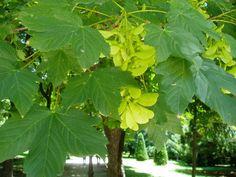 EL SICOMORO: Acer pseudoplatanus