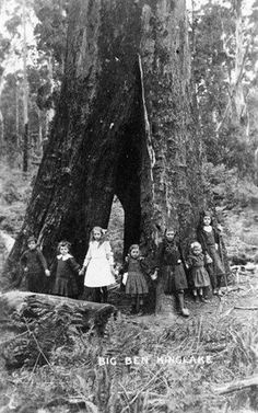 photograph of Big Ben, a fire-damaged Mountain Ash tree (Eucalyptus regnans), Kinglake area Melbourne Victoria, Victoria Australia, Picnic At Hanging Rock, Gothic Aesthetic, Largest Countries, Big Tree, Historical Pictures, Historical Society, Vintage Images