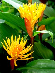 golden brush ginger - All About Gardens Exotic Plants, Tropical Plants, Tropical Flowers, Yellow Flowers, Colorful Flowers, Tropical Gardens, Garden Mum, Fruit Garden, Garden Plants