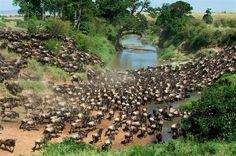 R.N. Masai Mara. Kenia. Manada de ñues