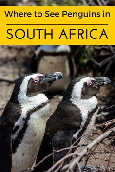 I give you the scoop on where to see adorable African penguins in South Africa. Luckily, they're easy to find.