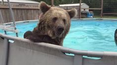 This swimming bear is guaranteed to make you smile