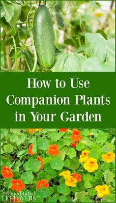 Some plants grow better together than apart. Here are tips on how to use companion plants in the garden and a list of good plant combinations.