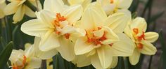 "A photograph of the the spring flowering Daffodil cultivar ""Ascot"""