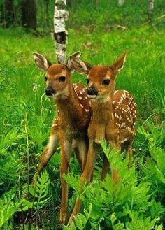 Zwillinge Rehkitz & Rehkitz , voll süß - sieht man ja nur sehr selten im Wald!