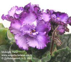 African Violet Flowers | African violet Midnight Twist