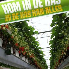 Strawberries @kalteraardbeien in IJsselmuiden! Yumm...