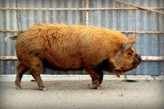"""Kunekune pigs are the only breed known to fatten on grass, with little to nothing needed in the way of supplementation. Their wide head, dished face, and short, upturned snout speak to their ability and tendency to graze rather than root. Their meat has a high proportion of beneficial fats, similar to mangalitsas, and is well-marbled, succulent, and tasty. Kunekune means """"fat and round"""" or """"plump"""" in the Māori language. Kune Kune Pigs, Pig Breeds, Cute Piglets, Livestock Farming, Sheep Farm, This Little Piggy, Exotic Pets, Farm Life, Farm Animals"""