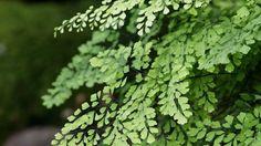 Adianthum fragrans - Maidenhair fern