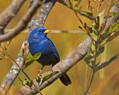 Campainha-azul (Blue Finch) by Bertrando©, via Flickr