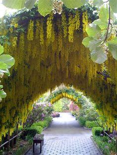 magicalnaturetour: Laburnum Arch via valeaston :)