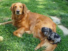 awww a golden retriever and a dapple long hair dachshund!! That's what i want! I LOVE them :)