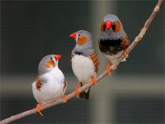 Three soprano #Zebra #Finch #Bird