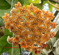 Hoya fraterna Blume 1849 is a terrestrial growing tropical wax flower vine from the dogbane family (Apocynaceae), in the first place found on the island of Java, Indonesia.