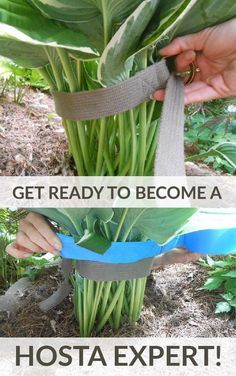 Gardening hacks for lush, beautiful hostas in your flower beds. How to care for hostas. Best gardening tips and tricks for growing hostas. Get ready - you're about to become a Hosta expert! Diy Gardening, Container Gardening, Organic Gardening, Flower Gardening, Vegetable Gardening, Gardening Gloves, Gardening Books, Allotment Gardening, Balcony Gardening