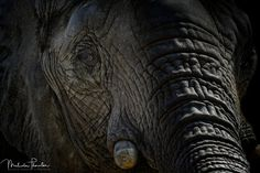 I Remember: Close-up of the largest animal walking the Earth the beautiful African Elephant. NatureAnimalAnimalsHeadshotMammalEyeWildlifeBlack And WhiteHeadElephantEyesSafariFaceEndangeredLow KeyBlack BackgroundTrunkClose-UpCloseupMammalsWild LifeWild AnimalAfrican ElephantLoxodontaLow-KeyLoxodonta AfricanaThreatenedMammalogyB & WAnimal SancturyLargest Animal