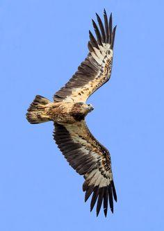 Photograph Curious! (White-Bellied Sea Eagle) by Jon Chua on 500px