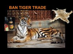 Ever seen an emaciated tiger in captivity? I hope you don't....but there are lots of them in China. They are bred for their bones. So they can make 'tigerwine'. It's medicinal. Salut!
