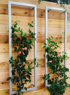 A pair of Ina Wall Trellises create a lovely vertical garden tapestry woven with beautiful Distictus/Trumpet Vines against a modern garden wall. #terratrellis