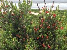 Image result for Erica discolor subsp speciosa dune