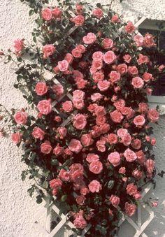 Als de klimop straks weg is...  Rosa 'Lavinia', - klimroos, bloeit met grote (9-11cm ), aangenaam geurende, gevulde, roze bloemen die buitengewoon weerbestendig zijn. Hoogte : 2- 3m Breedte : ca 1m. Goed hittetolerant, goed ziekteresistent.