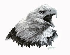 Bald Eagle Sketches | Home Original Artwork Eagle Head Study in Graphite