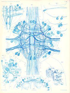 The central nervous system of a medicinal leech Biologische Untersuchungen. Neue Folge. Vols.- I- XIX, (Stockholm, 1890-1922) Author: RETZIUS, Gustaf (1842–1919)