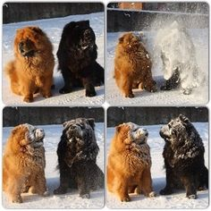 chow chows in snow