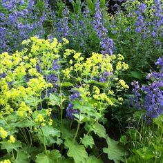 Catmint (Nepeta X faassenii 'Walker's low') and Lady's Mantle (Alchemilla mollis).  A great combo!