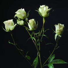 Chablis #SprayRoseVarieties #RosesColombia #RedilRoses #Flowers #Blom #BlomFlores #FloresColombia
