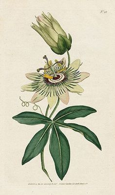 Passionflower. William Curtis Botanical Magazine 1st Edition Prints 1787
