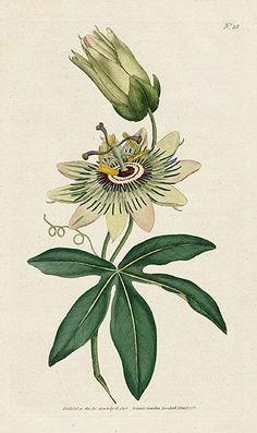 Passionflower. William Curtis Botanical Magazine 1st Edition Prints 1787