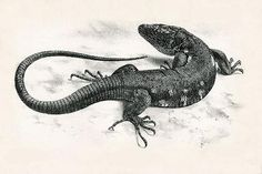 Roque Chico de Salmor Giant Lizard Extinct in 1940
