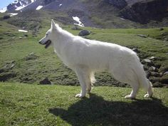 White #German #Shepherd