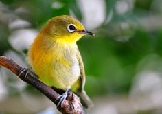Spotted at Afton Grove - Cape White-Eye