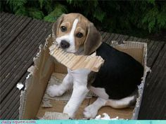 """What do you mean the box isn't food?""  http://bowwowtimes.com/2015/01/12-not-regal-beagles/"