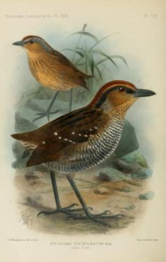 v. 9 (1902) - Novitates Zoologicae. - Biodiversity Heritage Library