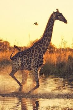 Giraffe running in water Animals And Pets, Baby Animals, Cute Animals, Baby Giraffes, Giraffe Pictures, Animal Pictures, Beautiful Creatures, Animals Beautiful, Mother Nature