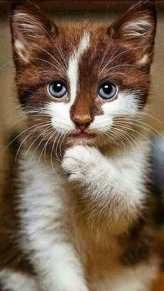 Cute Baby Cats, Silly Cats, Cute Little Animals, Cute Cats And Kittens, Crazy Cats, Kittens Cutest, Crazy Animals, Pretty Cats, Beautiful Cats