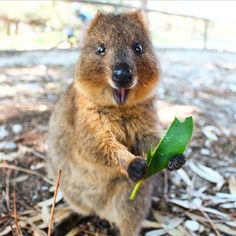 Although one of the lesser well known creatures in the animal kingdom the adorable quokka has every right to be called the world's happiest animal and we've got Happy Animals, Animals And Pets, Funny Animals, Cute Animals, Quokka, Wild Creatures, Australian Animals, Animals Of The World, Funny Animal Humor