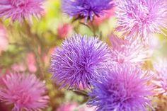 Flower, Flowers, Purple, Pink, Violet