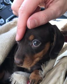 """Find out even more relevant information on """"dachshund puppies"""". Look at our site. Dachshund Breed, Dachshund Funny, Dachshund Love, Bullmastiff, Cute Puppies, Cute Dogs, Doxie Puppies, Clever Dog, Bullen"""
