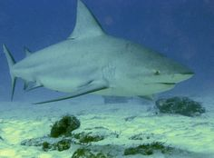 bull shark | Animal You: Bull Shark. watch out for these guys