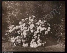 A bush of hydrangea in flower  Date : ca 1842  Source: http://www.artvalue.com/auctionresult--talbot-william-henry-fox-1800-a-bush-of-hydrangea-in-flower-1247192.htm
