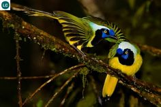 https://www.facebook.com/WonderBirds-171150349611448/ Giẻ cùi Inca; Họ Quạ-Corvidae; Nam Mỹ || Inca jay (Cyanocorax yncas); IUCN Red List of Threatened Species 3.1 : Least Concern (LC)(Loài ít quan tâm)