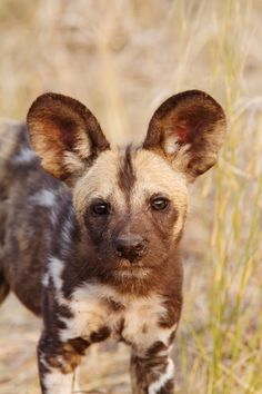 """The African Wild Dog is a large canid found only in Africa, especially in the savannas and lightly wooded areas. The scientific name 'Lycaon pictus' is derived from the Greek for """"wolf"""" and the Latin for """"painted"""". Animals Images, Nature Animals, Animal Pictures, Cute Animals, African Hunting Dog, African Wild Dog, Coyotes, Savage Animals, Rare Albino Animals"""