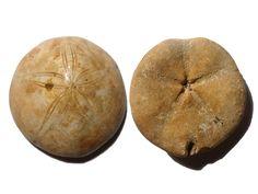 Pygurus Marmonti Sand Dollar Fossil, Sakaraha, Madagascar, Late Juraissic (163 MYA) - 85.1g