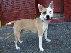 SAFE 8/30/13 Brooklyn  HUNTER A0976161 MALE TAN/WHITE PIT BULL MIX, 1 yr He needs someone who is patient enough to teach him all those grown up doggy things that a big baby like Hunter needs to learn. And he needs someone who doesn't mind doggie kisses. Are you that someone? If you are, step up to foster or adopt Hunter. But do it now—tomorrow Hunter will be gone forever—only you can see to it that he will be around to celebrate his 2nd birthday.